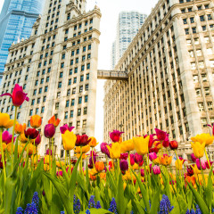 Wrigley Building spring time low angle